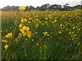 SZ0398 : Canford Magna: an abundance of buttercups by Chris Downer
