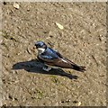 NH8857 : House Martin on the bank of the River Nairn by valenta