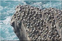 HP5917 : Gannets (Morus bassana), Humla Houll, Hermaness by Mike Pennington