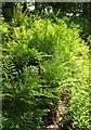 SX4866 : Ferns, Cot Plantation by Derek Harper