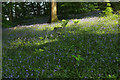 SX4867 : Bluebells, Great North Wood by Derek Harper