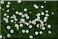 TQ4294 : View of a clump of daisies in Roding Valley Nature Reserve by Robert Lamb