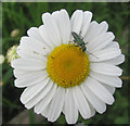 SP9313 : One of the very many Oxeye Daisies at College Lake by Chris Reynolds