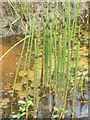 NR2266 : Water Horsetail on Islay by M J Richardson