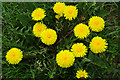 NY3658 : Dandelions (Taraxacum sp) by Anne Burgess