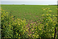 SX7736 : Crop near East Prawle by Derek Harper