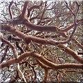NO0992 : Granny pine by Richard Webb