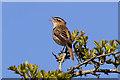NX9256 : A sedge warbler by Walter Baxter