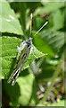 NJ3050 : Orange Tip Butterfly (Anthocharis cardamines) by Anne Burgess