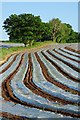 SO6654 : Polythene strips in a field by Philip Halling