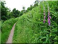 SO7642 : Foxgloves beside a footpath by Philip Halling