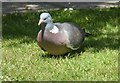NJ6201 : Wood Pigeon browsing on a domestic lawn in Torphins by Stanley Howe
