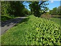 NS3977 : Tuberous Comfrey by the cycle path by Lairich Rig
