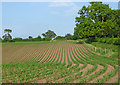 SJ6542 : Maize field near Audlem in Cheshire by Roger  Kidd