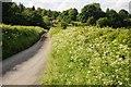 SJ0502 : Cow parsley in a roadside verge by Philip Halling