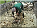 SK0571 : Shearing sheep near Countess Cliff Farm : Week 24