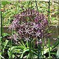 TG2208 : Star of Persia (Allium christophii ) by Evelyn Simak