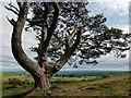 NH5058 : A venerable Scots Pine below Knock Farril Hillfort : Week 24