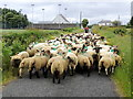C5447 : Sheep along the L5871, Glackadrumann by Kenneth  Allen