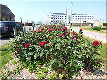 SD4264 : Red roses in Morecambe by Stephen Craven
