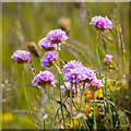 J5283 : Sea Thrift, Ballymacormick Point by Rossographer