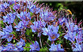 SX9150 : Bee on Echium, Coleton Fishacre by Derek Harper