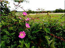 H5672 : Wild roses, Mullaghslin Glebe by Kenneth  Allen