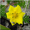 ND4893 : Silverweed (Potentilla anserina) by Anne Burgess