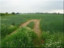 SJ4723 : A wheat field at Myddle by Philip Halling