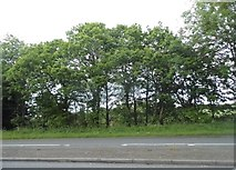SO9672 : Trees by the A38, Bromsgrove by David Howard