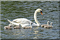 NJ9748 : Swan Family by Anne Burgess