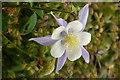 SE6656 : Aquilegia flower in the June Garden, Breezy Knees Gardens by Rich Tea