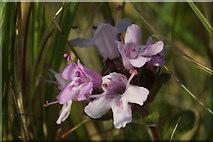 NT4681 : Wild Thyme (Thymus serpyllum), Aberlady Bay by Mike Pennington