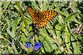 TQ1852 : Dark Green Fritillary on Viper's Bugloss by Ian Capper