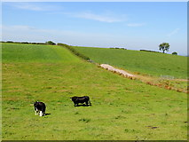 H3990 : Cow and bull, Ballymullarty by Kenneth  Allen