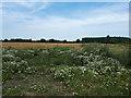 SU1691 : Camomile growing near Lower Burytown Barns by Vieve Forward