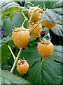 SO6023 : Golden Raspberry, Rubus ellipticus by Jonathan Billinger