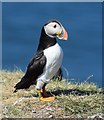 NM2742 : Puffin (Fratercula arctica) on Lunga (3) by Rob Farrow