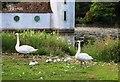 NO4814 : Swans with cygnets by Bill Kasman