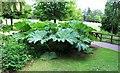 NO4814 : 'Giant rhubarb' by Bill Kasman