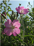 SX9066 : Great willowherb, Nightingale Park by Derek Harper