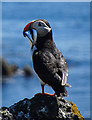 NT6698 : Puffin (Fratercula arctica) by Anne Burgess