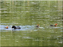 SE2712 : Yorkshire Sculpture Park: coot and chicks by Rudi Winter