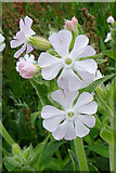 HY5042 : White Campion (Silene latifolia) by Anne Burgess