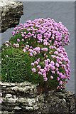 HY5042 : Thrift (Armeria maritima) by Anne Burgess