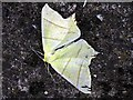 NZ1266 : Swallow-tailed Moth (Ourapteryx sambucaria), Heddon on the Wall by Andrew Curtis