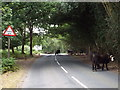 TQ4628 : Cattle in the road, Ashdown Forest by Malc McDonald