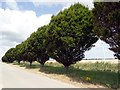 SE8112 : Short avenue of trees in arable land by Graham Hogg
