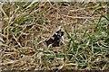 TG3306 : Strumpshaw Fen: Red Admiral butterfly 'Vanessa atalanta' by Michael Garlick