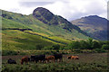 NY3006 : Cattle grazing, Great Langdale by Ian Taylor